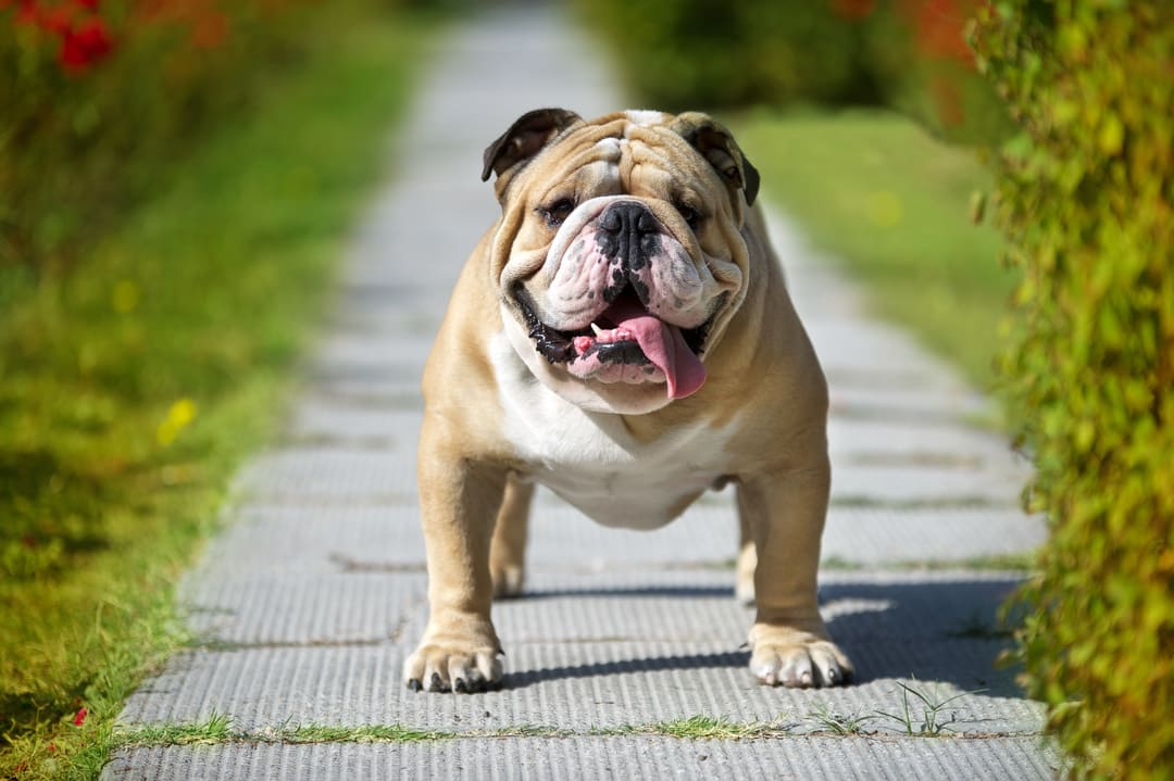 Plant-Based Supplements For Anxious Bulldogs: Tinctures