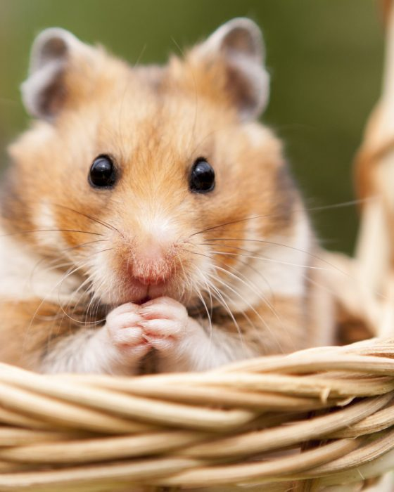 A Guide to Different Types of Hamsters