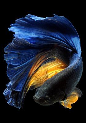 Betta Fish Care History and Complete Guidance About Them