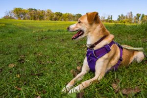 Picking The Best Easy Walk Dog Harnesses for Your Dog