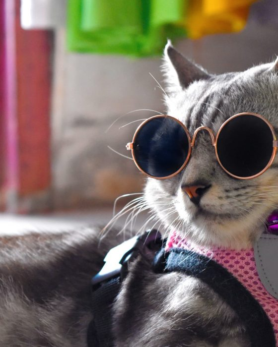 Grey American short hair cat face with black glasses and pink harness.