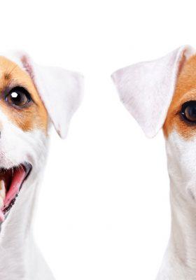 breeds of terriers