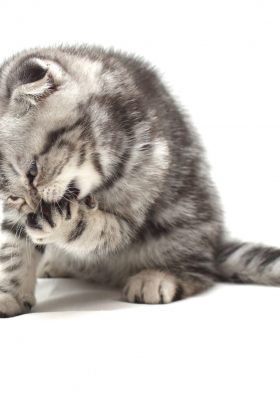 What to Do About Cat Lice