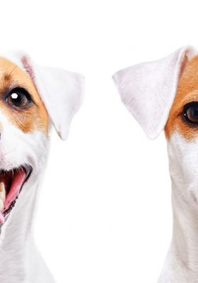 Different Breeds of Terriers