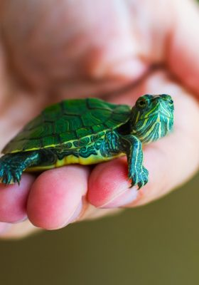 How to Best Take Care of Your Pet Turtle
