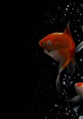 How to Take Care of Koi Fish