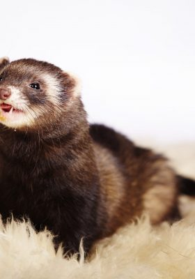 What to Do When You Have Ferrets as Pets