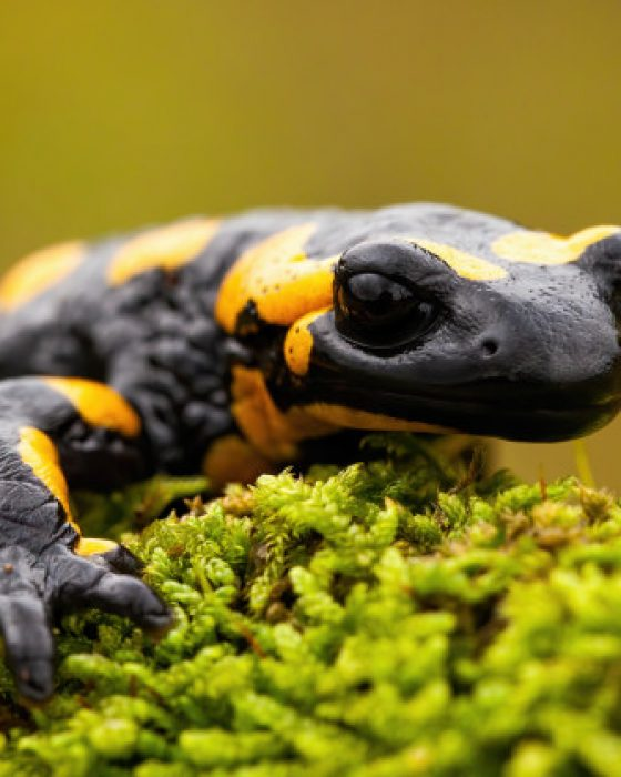 What You Need to Know to Care for a Pet Salamander